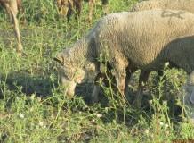 4.rész - Cikksorozat a hagyományos pásztoroló legeltetésről