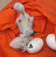 Fehér gólya fészekalj mentése