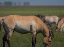 Őskori vadlovakat mentenek a Hortobágyon mesterséges intelligenciával