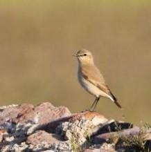 Rare bird in the Hortobágy National Park