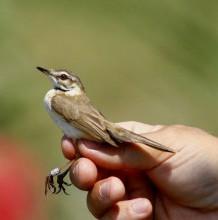 Tájékoztató madárgyűrűzési bemutatóról