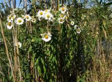 Tiszaparti késeimargitvirág Hortobágy-Halastón